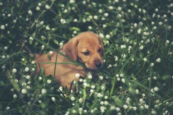 Cute puppies dog running in the meadow.