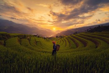 Tribal woman, farmer, with paddy rice terraces, agricultural fields in countryside of Mu Cang Chai, Yen Bai, mountain hills valley in South East Asia, Vietnam. Nature landscape background.