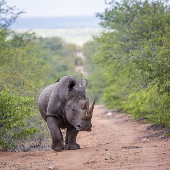 Southern white rhinoceros walking front view in Kruger National park, South Africa ; Specie Ceratotherium simum simum family of Rhinocerotidae. Southern white rhinoceros in Kruger National park, South Africa