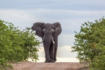 African bush elephant walking in front view in Kruger National park, South Africa ; Specie Loxodonta africana family of Elephantidae. African bush elephant in Kruger National park, South Africa