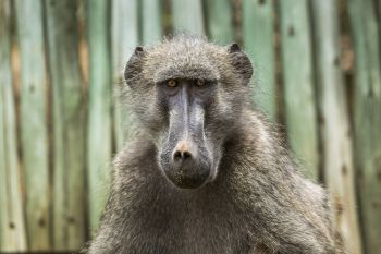 Chacma baboon portrait in Kruger National park, South Africa ; Specie Papio ursinus family of Cercopithecidae. Chacma baboon in Kruger National park, South Africa