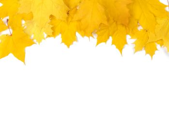 Yellow maple leaves frame with copy space isolated on white background. Yellow maple leaves frame