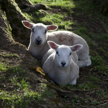 Two Spring Lambs resting between tree roots, Cotswolds, England.