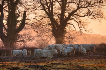 Cattle on a winters morning, Weston subedge near Chipping Campden, Gloucestershire, England.