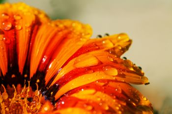 Close up on orange flower  with water drops