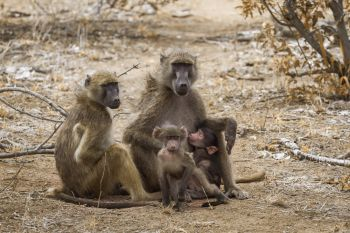 Chacma baboon family with babies in Kruger National park, South Africa ; Specie Papio ursinus family of Cercopithecidae. Chacma baboon in Kruger National park, South Africa