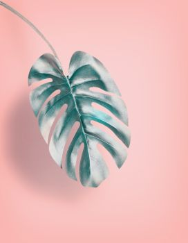 Tropical hanging Monstera leaf at pastel pink background, summer background with copy space for design