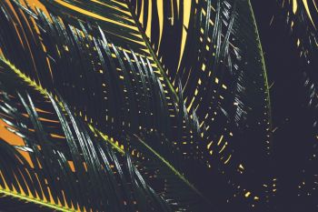 Palm tree leaves in a close-up on yellow background. Cycas revolutas, tropical plant.. Palm tree leaves in a close-up on yellow background
