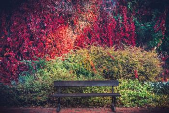 A bench and colorful autumn foliage on a wall. Fall background, rich colors.. A bench and colorful autumn foliage on a wall.