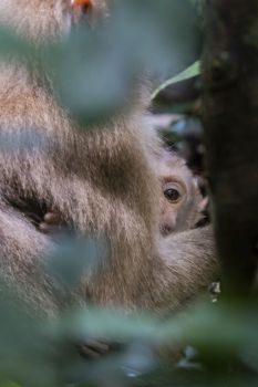 Pig tail macaque baby peering from mother's arms