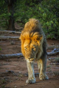 African lion male walking in twilight in Kruger National park, South Africa ; Specie Panthera leo family of Felidae. African lion in Kruger National park, South Africa