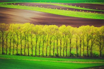 Poplar trees alley and sunset lines and waves in the spring, South Moravia, Czech Republic. poplet trees alley and sunset lines and waves in the spring