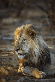 African lion in Kruger National park, South Africa ; Specie Panthera leo family of Felidae. African lion in Kruger National park, South Africa