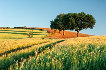 Wheat field at sunrise with trees on background. Wheat field at sunrise. Wheat field at sunrise