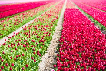 Red tulips field in the Netherlands. Spring shot